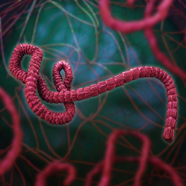Two studies describe sexual transmission from survivor, persistence of Ebola virus RNA in semen.