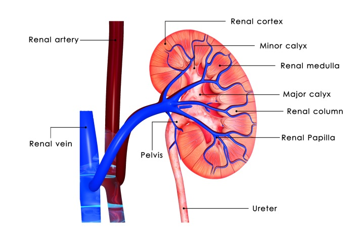 Kidney Damage Linked to Prediabetes Renal and Urology News