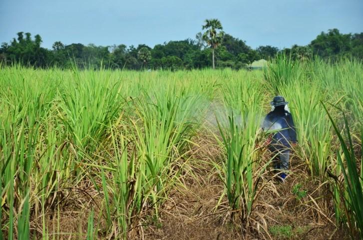 Sugar Cane Laborer