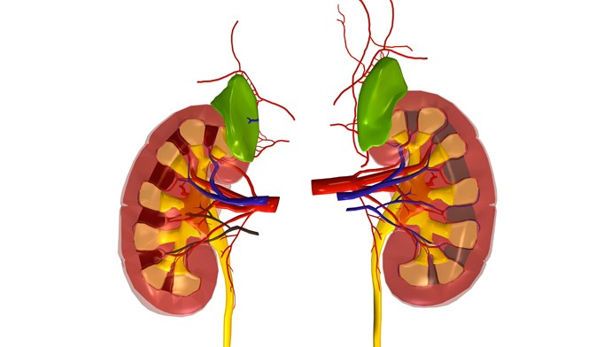 Researchers have documented a case of ceftriaxone-associated renal toxicity in an adult patient.