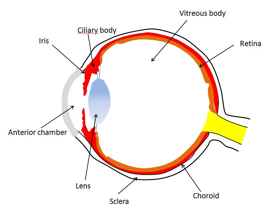 uveitis is classified based on location within the eye location directly affects the etiology treatment and prognosis anterior uveitis involves the